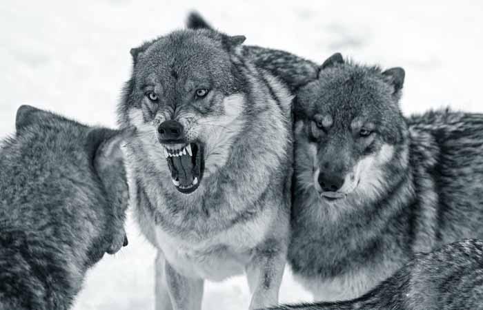 760965 Волки в Мордовии Люди, факты, мнения Мордовия