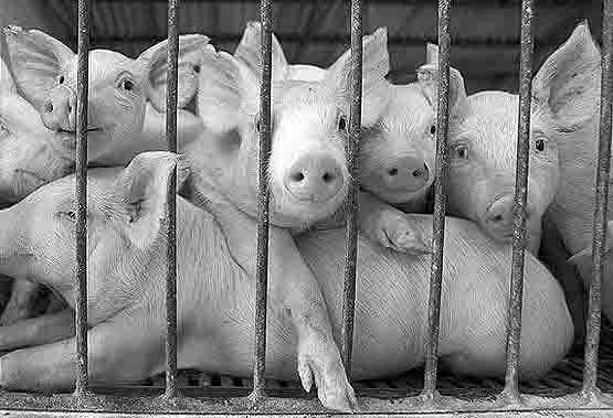 7568578679 Жители мусульманских сел Тукаевского района Татарстана против строительства свинофермы Ислам Татарстан