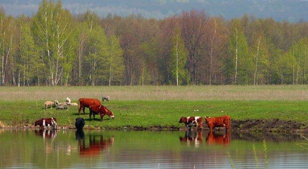 sh100370_22 Купанье красного... коров Блог Сергея Синенко