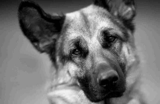 nemeckaya-ovcharka-2 Собака вместо учителя - так решили в МВД Оренбургской области Люди, факты, мнения Оренбургская область