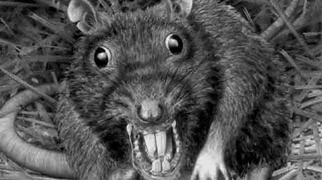 krisa Центр Йошкар-Олы захватили крысы Люди, факты, мнения Марий Эл